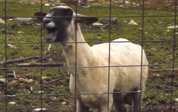 Goats screaming like people