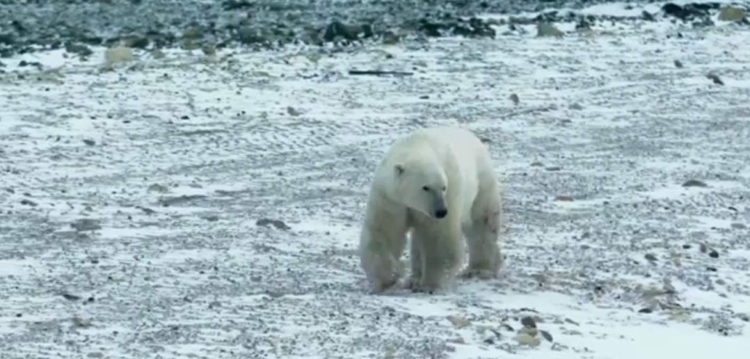 Google Street View finds polar bears