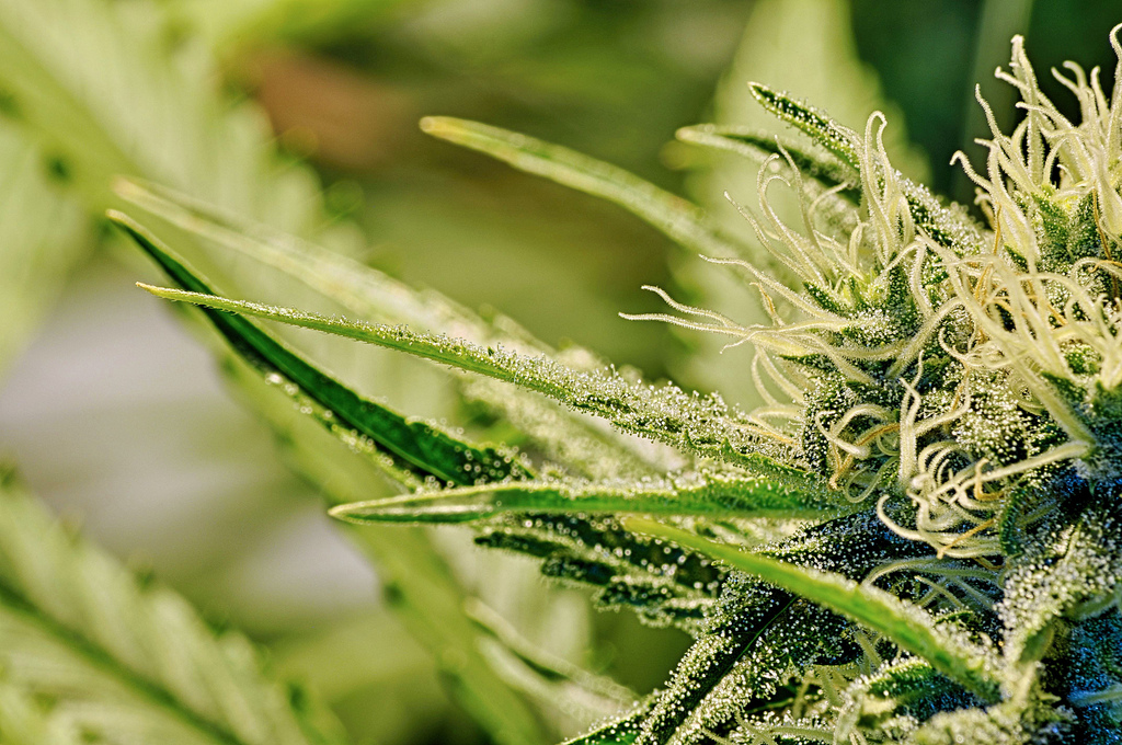 should marijuana/cannabis be legalized in canada essay Should marijuana be legal experts weigh in medical marijuana should be legal harry levine's work and papers by other researchers reveal that the.